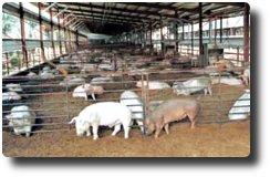 自然式発酵床豚舎